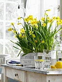 Spring feeling - pots of daffodils in a wooden crate