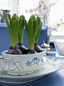 Hyacinths in a blue and white porcelain dish on a plate