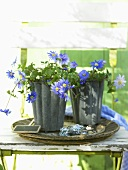 Grecian Windflowers (anemone blanda) in a metal pot
