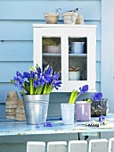 Spring feeling - a white cabinet hanging on a blue wall with hyacinths in metal pots and porcelain cups in the foreground