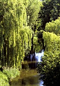 Weeping willows on the banks of a river