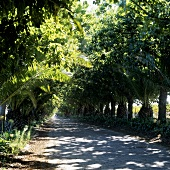 Palmenallee in Südafrika