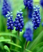 Blue grape hyacinth (close up)