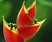 Heliconia (close up)