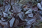 Assorted leaves (oak, beech) covered in hoarfrost