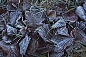 Assorted leaves (oak, beech) covered in hoarfrost