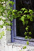 Old window with a wild vine