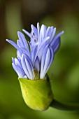 A blue agapanthus flower