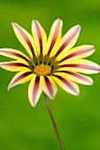 A gazania flower against a green background