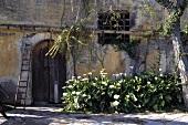 Arum Lilien vor Mediterraner verwitterter Hausfassade