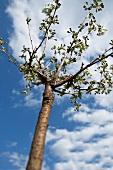Kirschbaum und Himmel