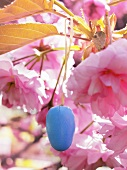 Almond flowers and a blue Easter egg