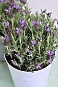 Lavender in a flowerpot
