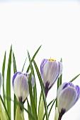 Spring Crocus Flowers; White Background