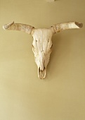 A bison skull from South America