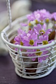 A metal basket filled with baby primroses
