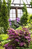 Garten mit Azalee und Rhododendron vor Fachwerkhaus