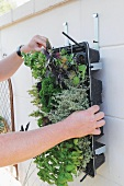 A box of herbs being hung vertically on a wall