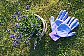 Lavender in a plant pot and gardening gloves on the lawn