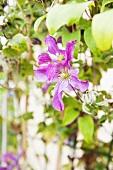 Clematis in a garden