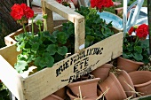 Wooden basket with red geraniums resting on plants pots