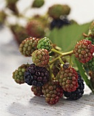 Unripe blackberries on the branch