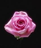 Eine aufgeblühte rosa Rose vor schwarzem Hintergrund