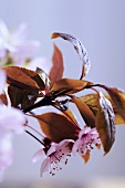 Cherry blossom on a branch