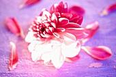 A pink dahlia