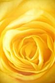Yellow rose (detail)