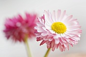 Two daisies (close-up)