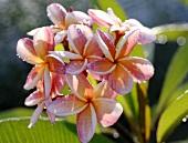 Plumeria (Frangipani or Leelawadee) with dewdrops