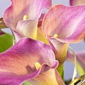 Purple calla lilies, close-up