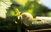 Snail, 'Wiltinger Schlangengrube', Saar, Germany