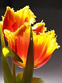Two yellow and red tulips