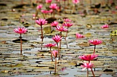 Pink water lilies in water