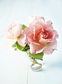 Pink roses ('Augusta Louise') in a vase