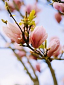 Magnolia blossom on branch