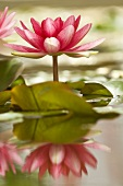 Fuchsia-pink water lily flower above water