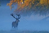 A stag in a clearing at dawn