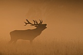 A roaring stag in a clearing in the mist