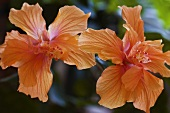 Two Hibiscus Flowers