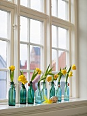 Narcissus in turquoise bottles on a window sill