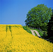 View across a rape field in bloom