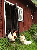 A cockerel and chickens in front of a barn