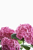 Pink Hydrangea Blossoms on White Background