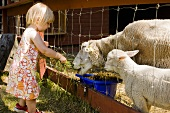 Little girl feeding sheep with grass