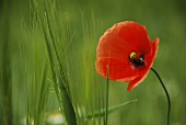 A poppy in a cereal field