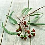 Eukalyptuszweig mit Knospen