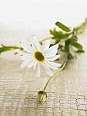 Marguerite flower